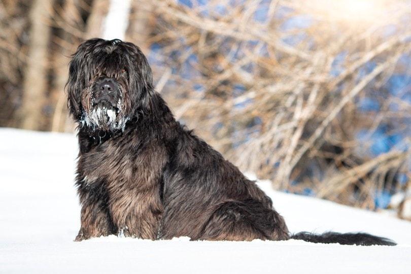 Bergamasco in snow_michelangeloop_Shutterstock