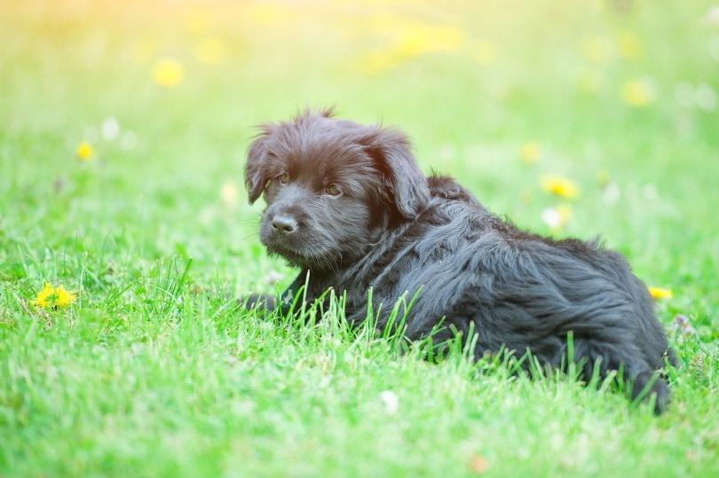 Bergamasco puppy_michelangeloop_Shutterstock