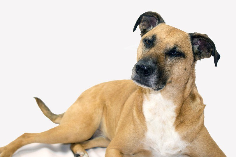 Black Mouth Cur in white background