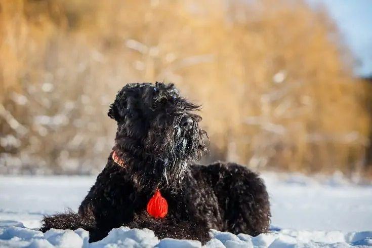 Black Russian Terrier_Shutterstock_Livanich