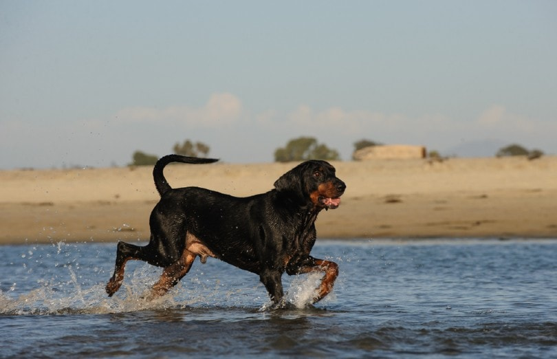 Black and Tan Coonhound at the beach