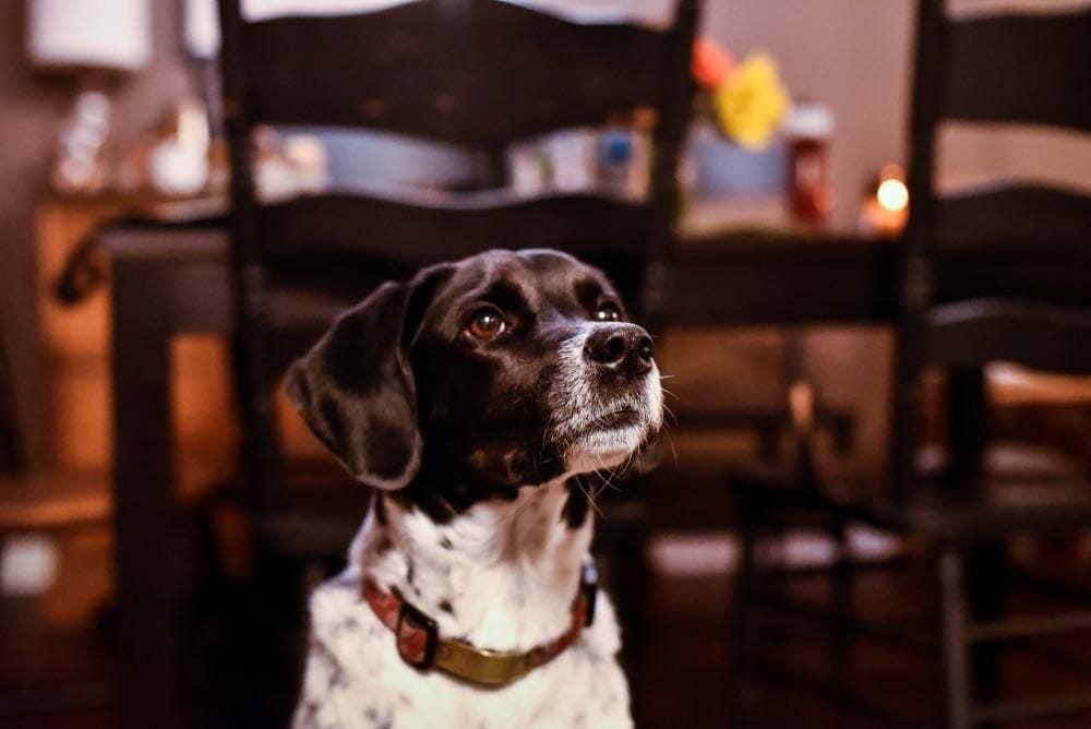 Boingle Beagle Point puppy