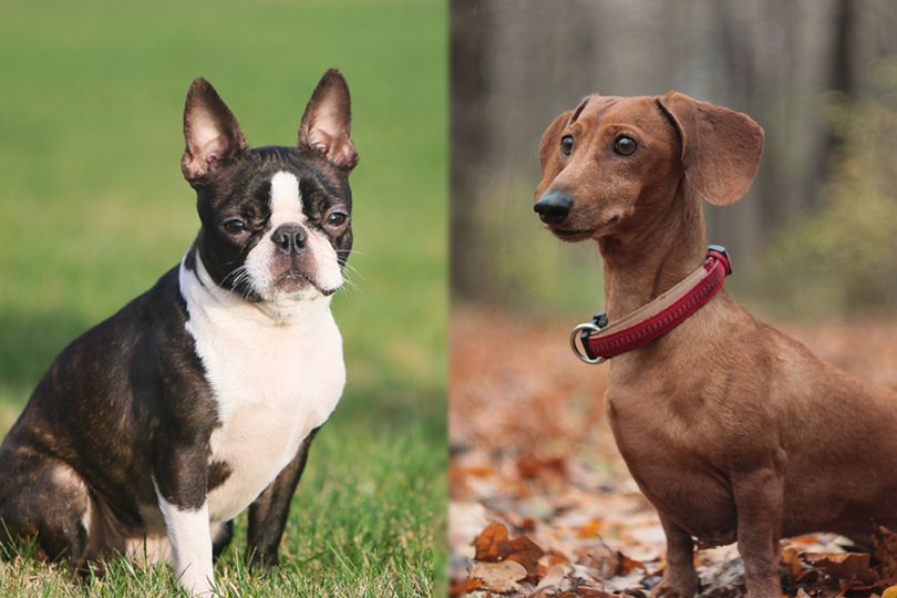 Boston terrier and Dachshund