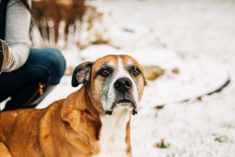 Boxador dog_Karen Culp_Shutterstock