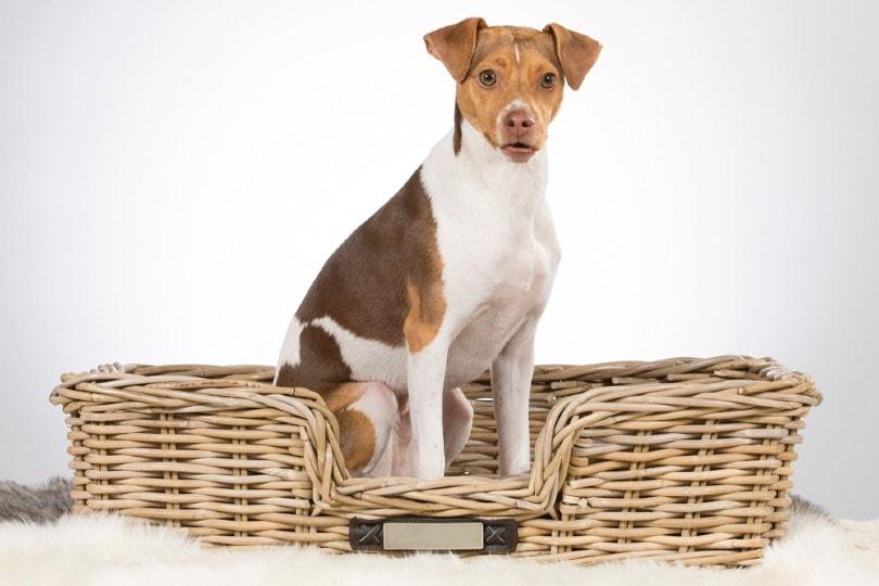 Brazilian terrier puppy sitting in a wooden box