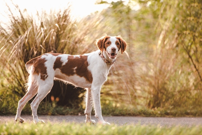 Brittany-spaniel-outdoors_TanyaCPhotography_shutterstock