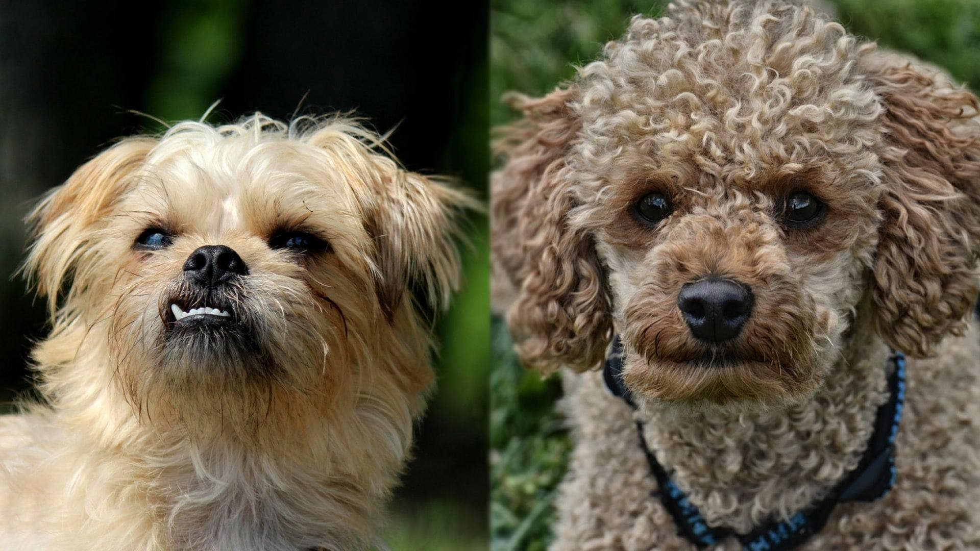 Broodle Griffon - Brussels Griffon and Poodle Mix