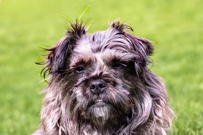 Brottweiler dog