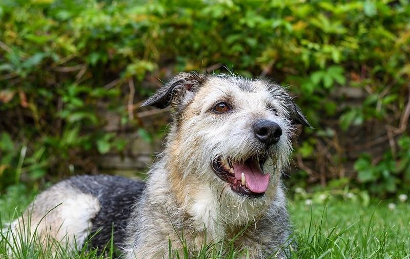 Brottweiler mixed dog breed