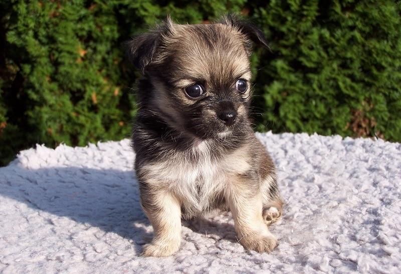 Brottweiler puppy