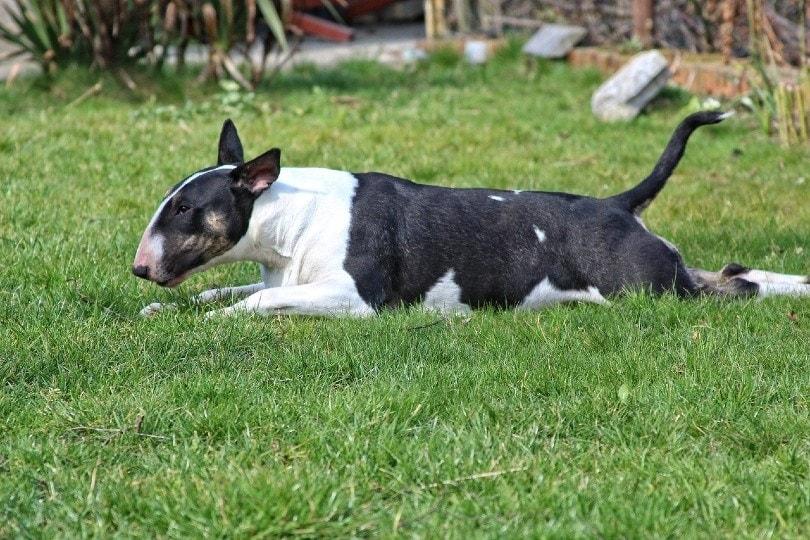 Bull Terrier lying on grass
