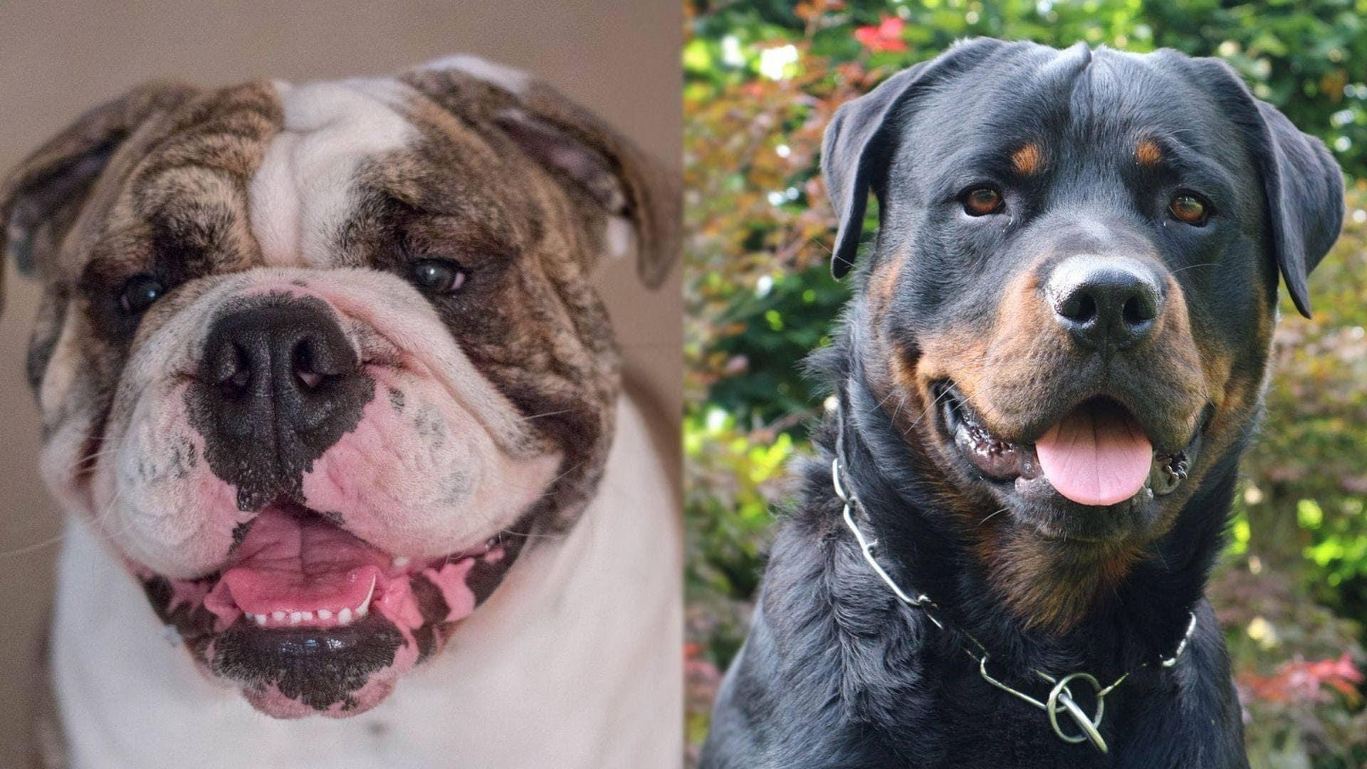 Bullweiler - German Rottweiler and English Bulldog Mix