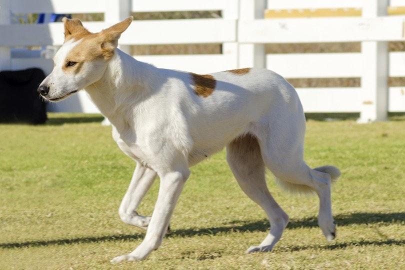 Canaan dog walking outdoor