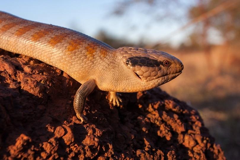 Centralian Blue-tongue Lizard_Ken Griffiths_shutterstock