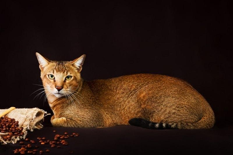 Chausie cat_Shutterstock_Tania__Wild