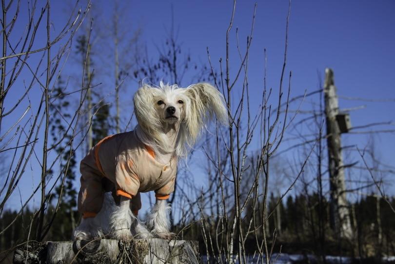 Chinese Crested Dog II_Piqsels