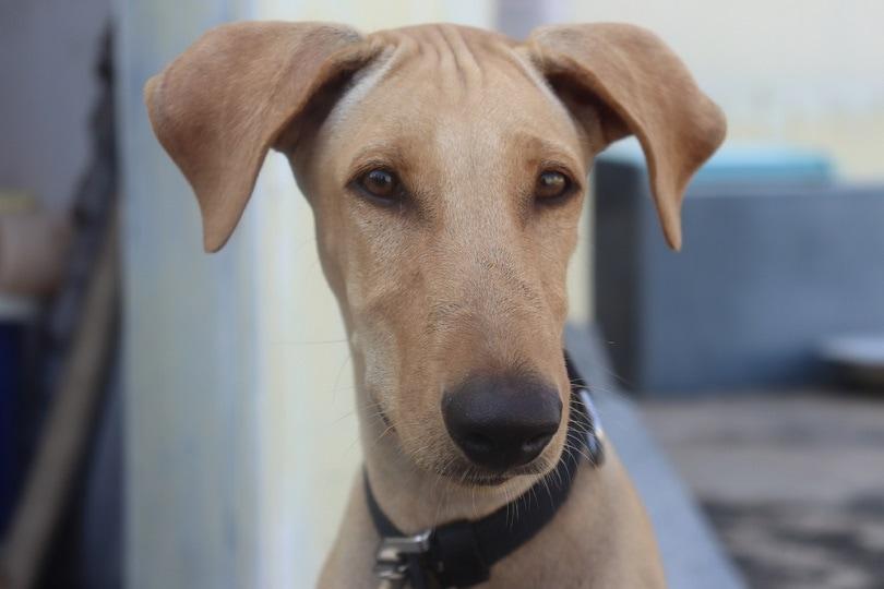 Chippiparai Dog_SEBEN S_shutterstock