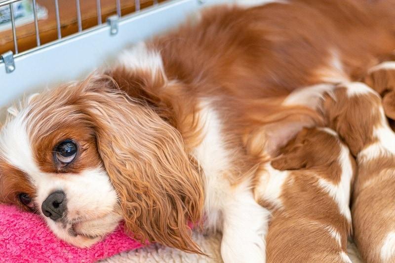king charles cavalier spaniel mom nursing puppies