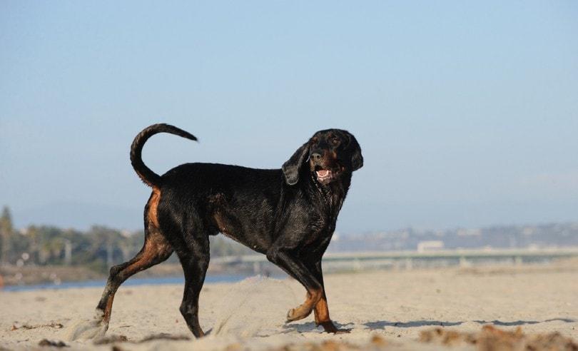 Coonhound dog at beach walking