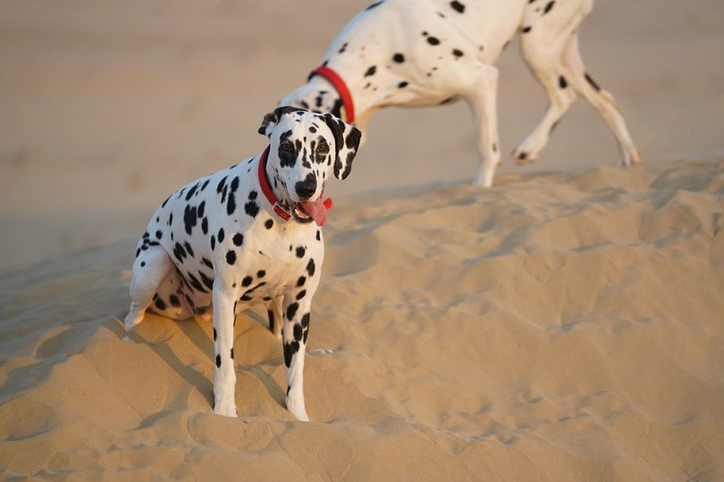 Dalmatians playing in the desert sand