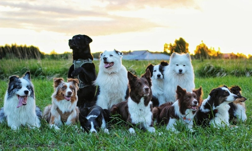 Different dog breeds in the sunset