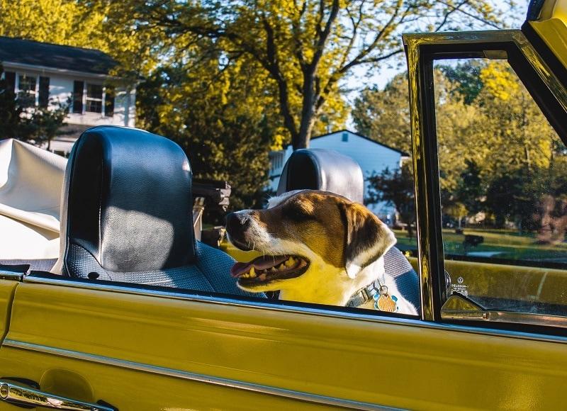 Dog in yellow car