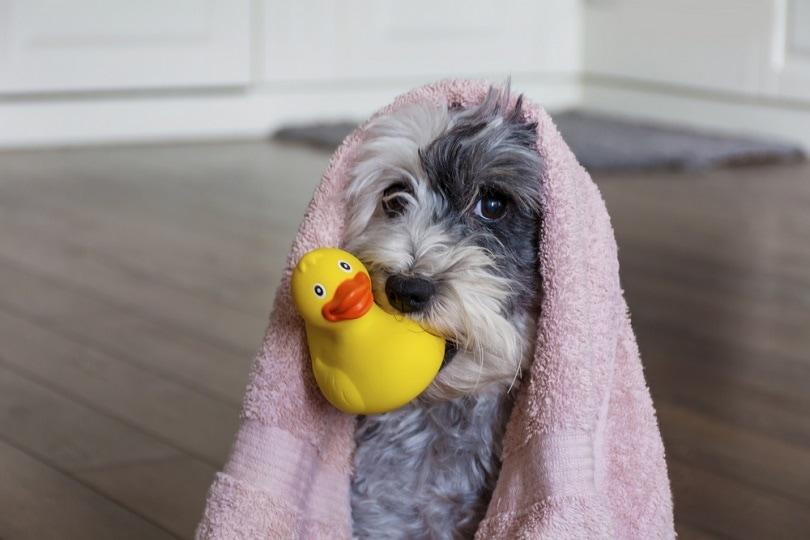 Dog-ready-for-bath_Boryanaa-Manzurova_shutterstock