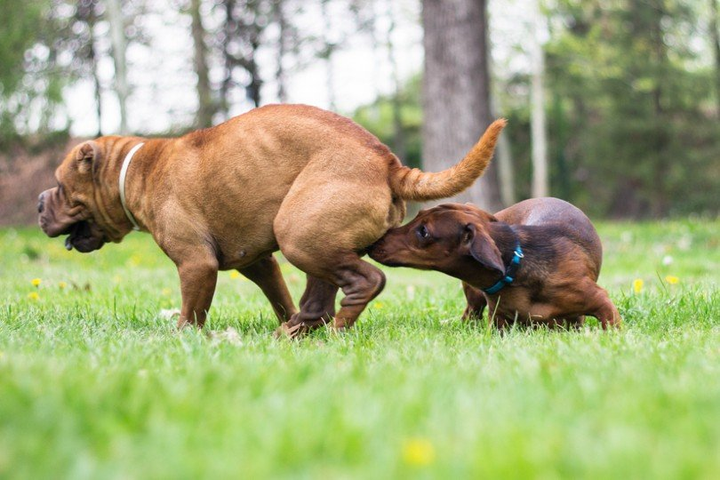 Dog smells a dog in heat