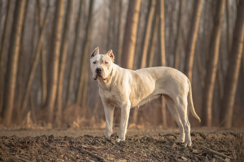 Dogo Argentino in the woods