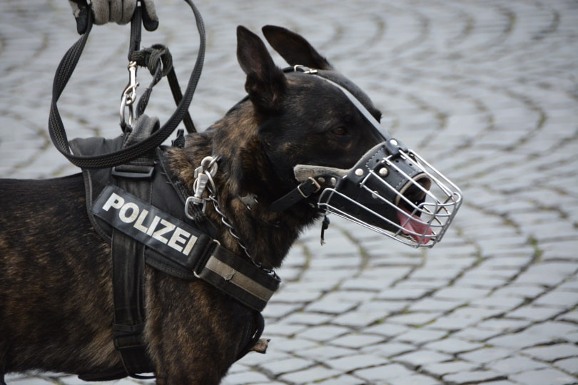 Dutch shepherd dog_Piqsels