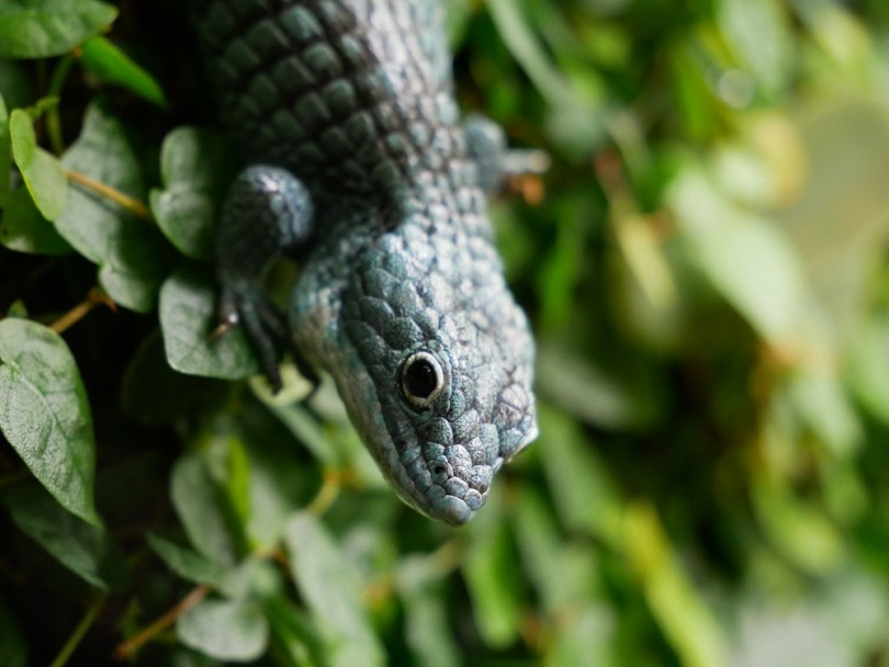Eastern blue-tongued skink_Posypano_shutterstock