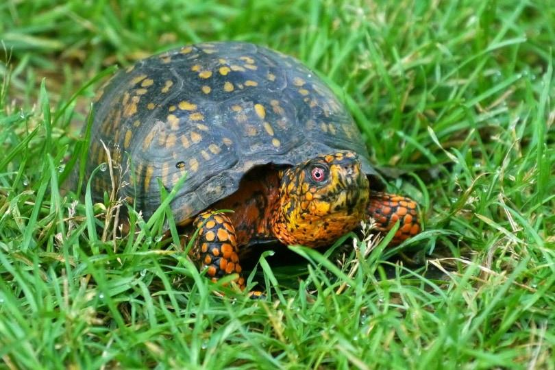 Eastern box turtle crawling_Piqsels