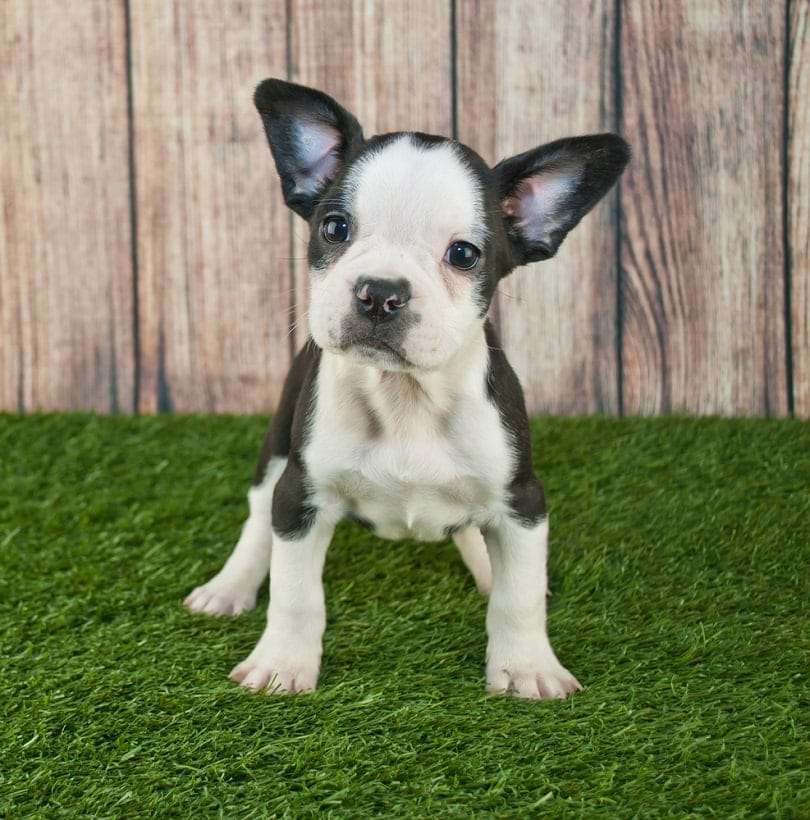 Fenchton puppy standing in the grass outdoors_JStaley401_shutterstock