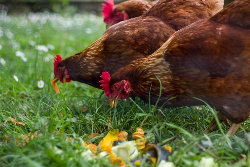 Free-range-chickens-eating-vegetables_rfranca_shutterstock
