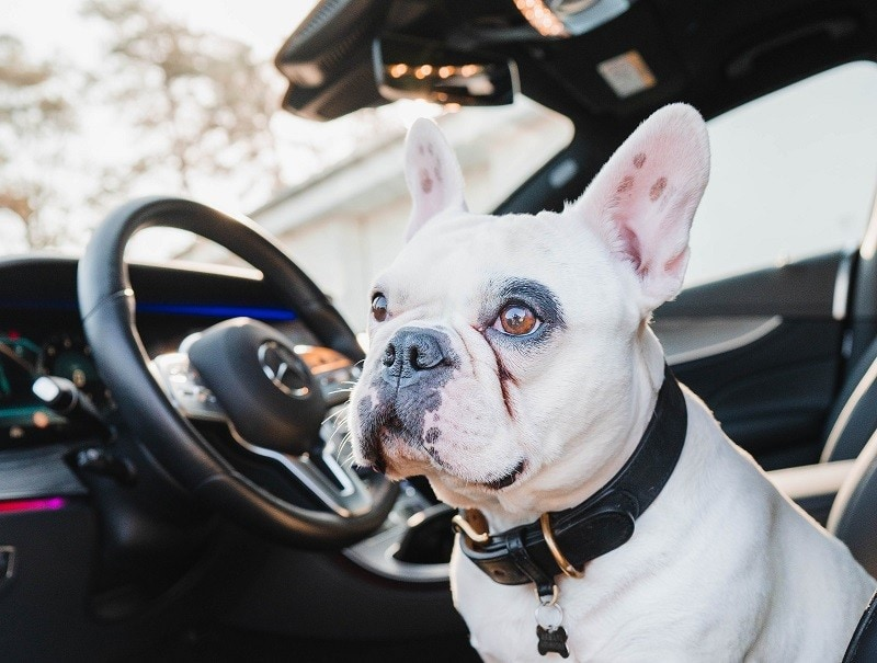 Frenchie in a car