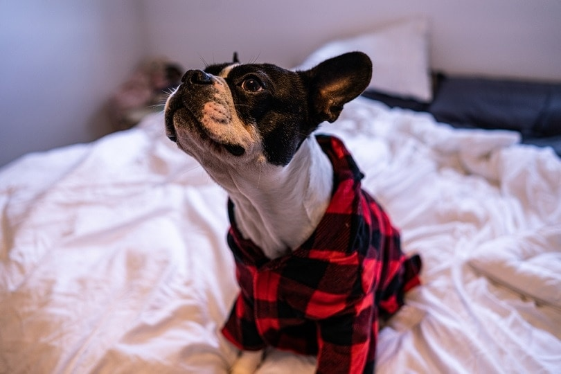 Frenchton sitting in the bed_David Atwood_shutterstock