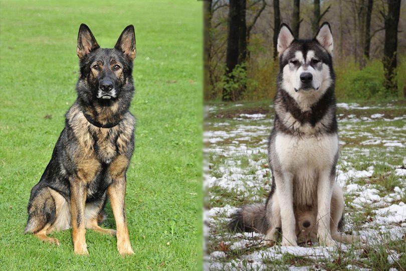 German Shepherd and Alaskan Malamute