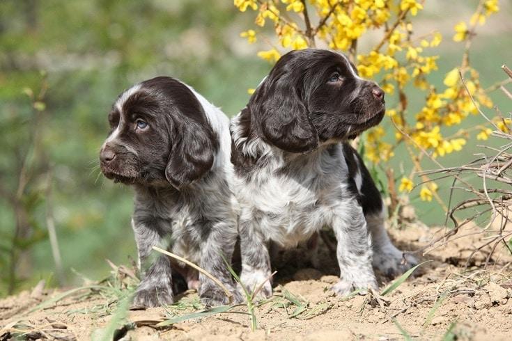 German Spaniel puppies