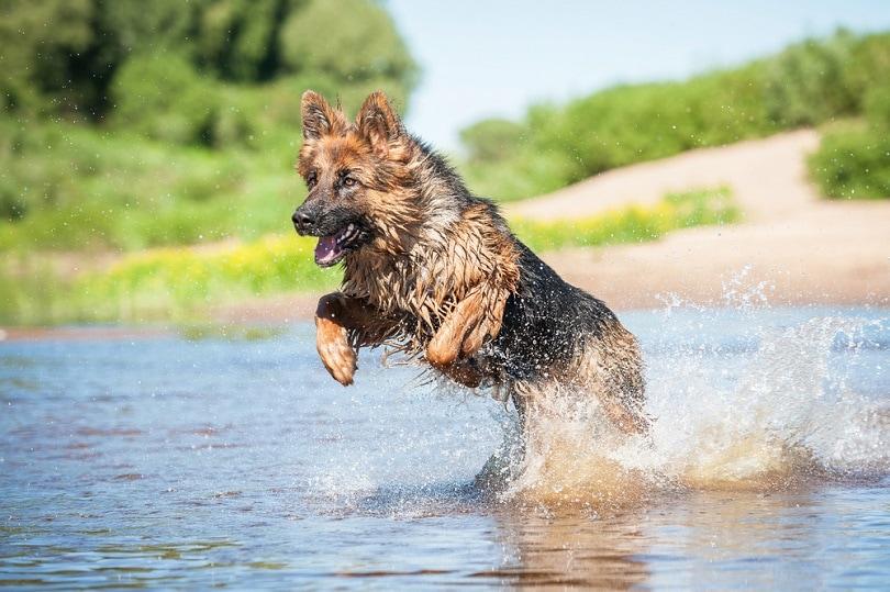 German-shepherd-dog-playing-in-water_Rita_Kochmarjova_shutterstock