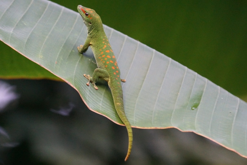 Giant day gecko_Piqsels