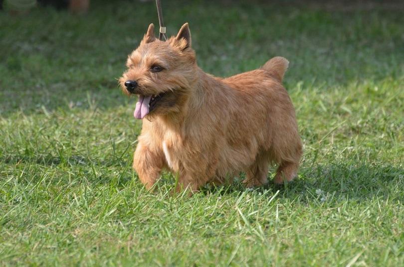 Glen of Imaal terrier_DejaVuDesigns_shutterstock