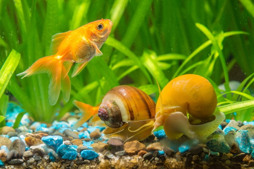 Goldfish and Mystery snails_Madhourse_Shutterstock
