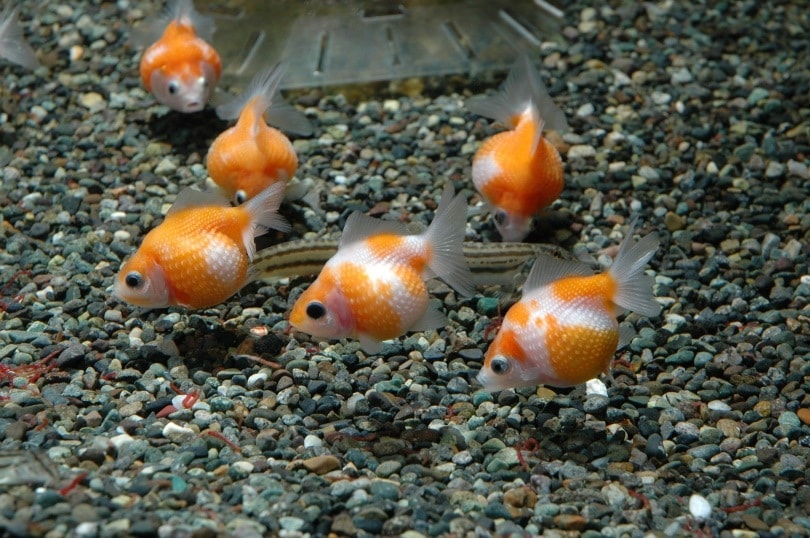 Goldfish_hineck_Pixabay