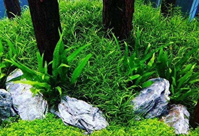 Greenpro Microsorum Pteropus Java Fern_Amazon