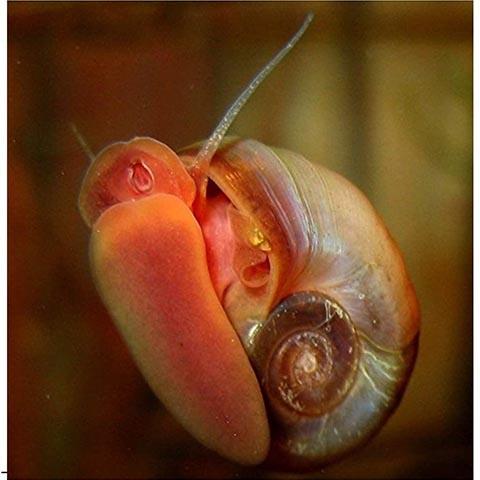 Half Price Joe 20+ Ramshorn Snails