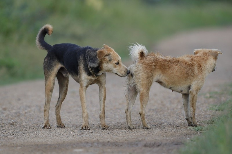 dog sniffing ready to mate