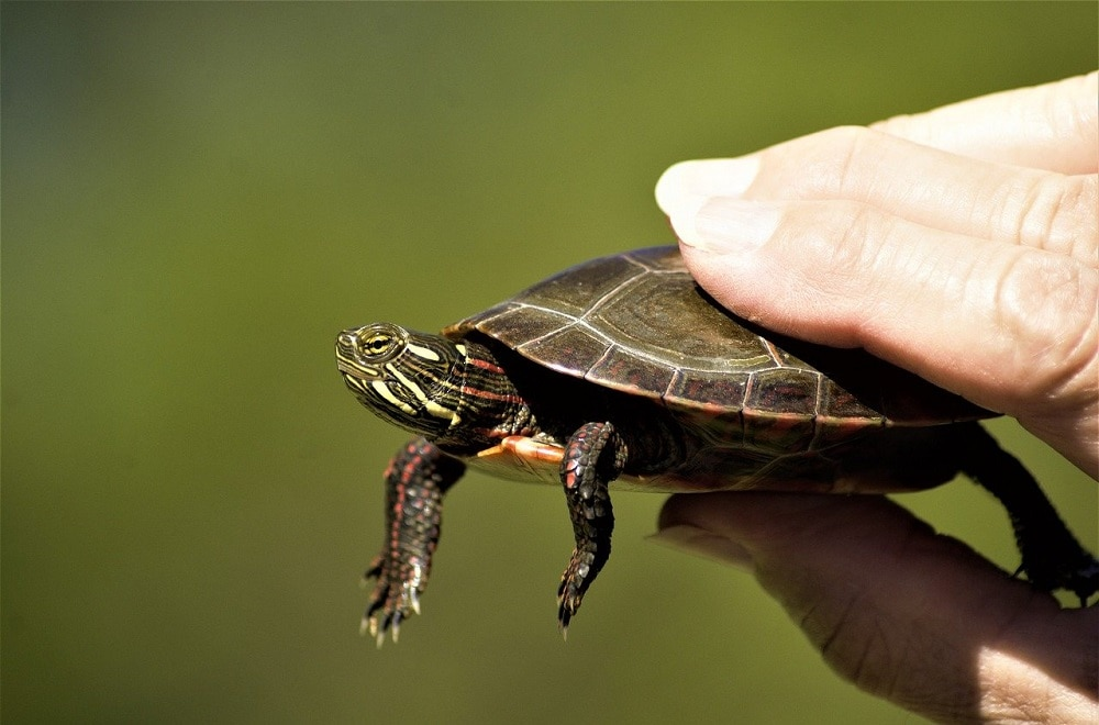 Human holding a Painted Turtle