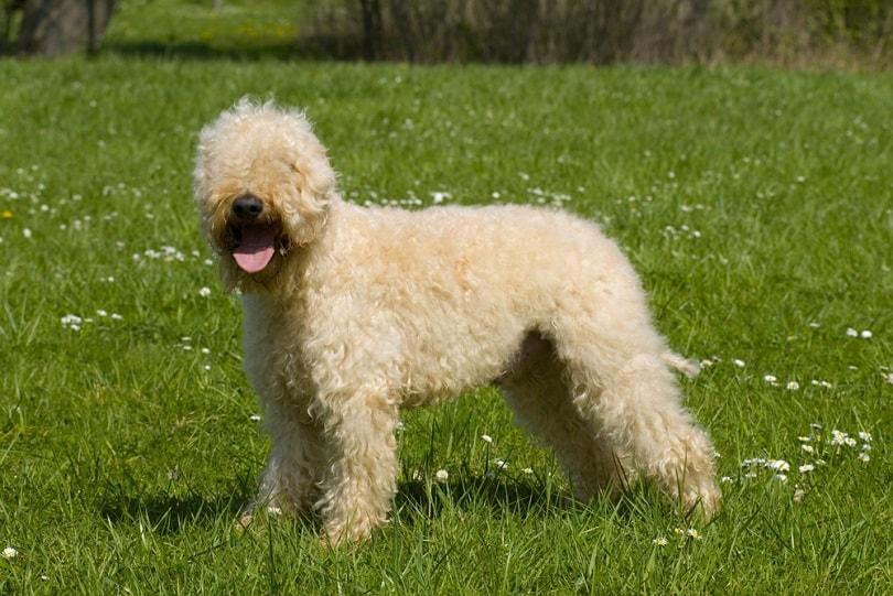Irish soft coated wheaten terrier_Dora Zett_shutterstock