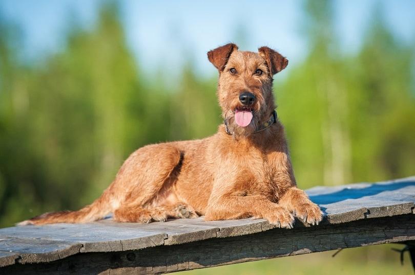 Irish terrier_Rita_Kochmarjova_shutterstock