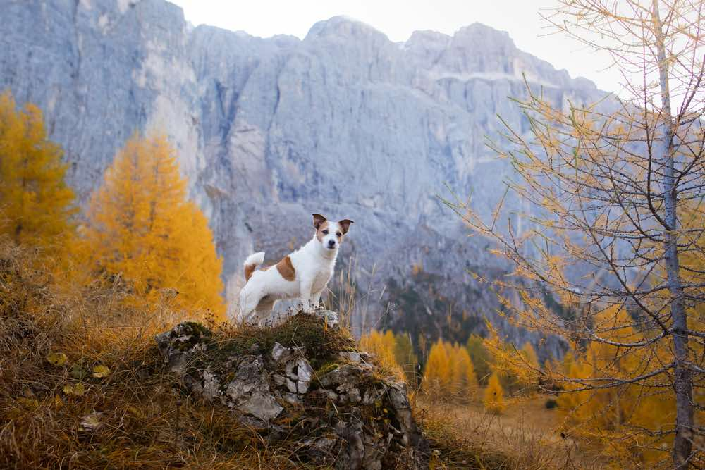 Jack Russell Terrier hiking in mountains